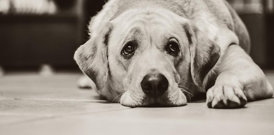 Jak opiekować się starszym psem