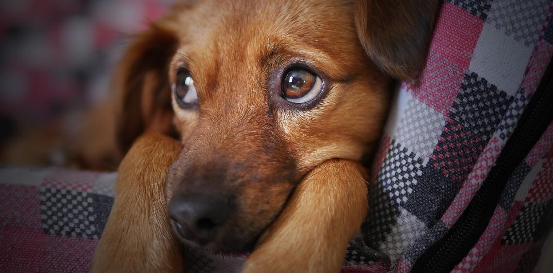 Upuszczanie moczu przez psa