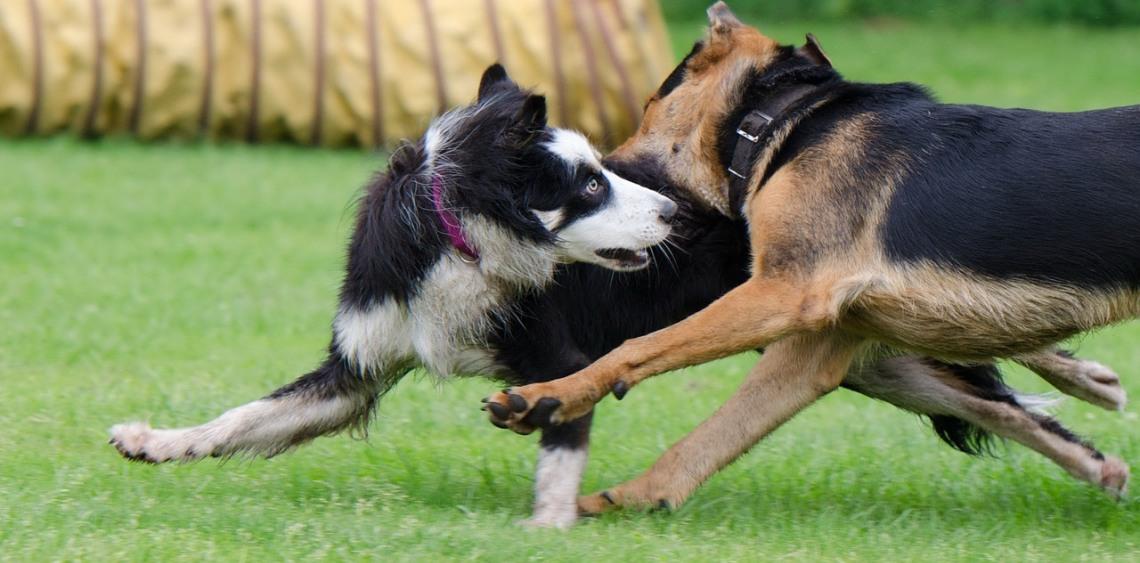 bezpieczeństwo na wybiegu dla psów