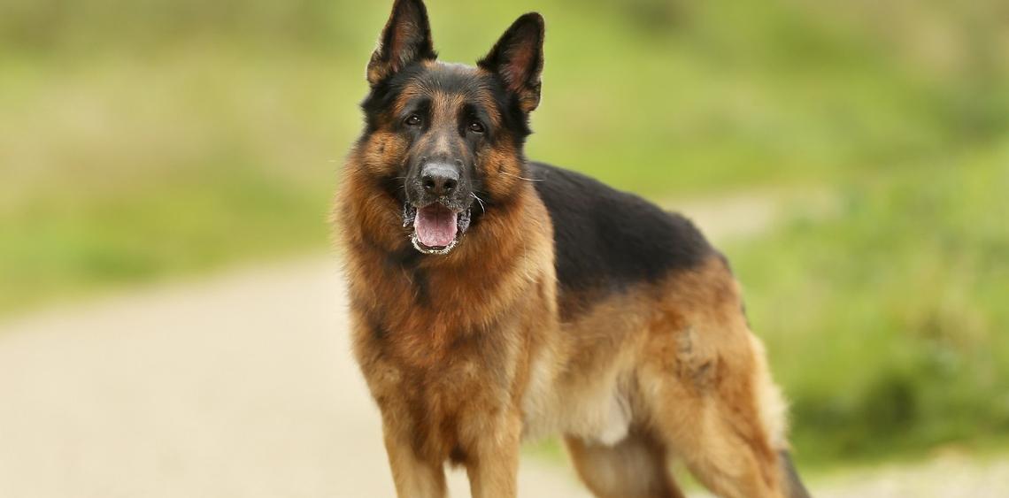 10 najbardziej popularnych ras psów w Polsce